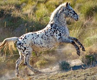 Knabstrupper - Barockpferd