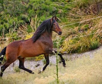 P.R.E. – Pura Raza Espanola Foto Pferd